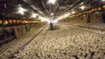 Svensk kyckling & ESBL – Bör ej förtäras