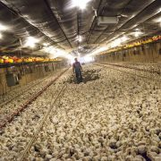 massproduktion-kyckling-esbl